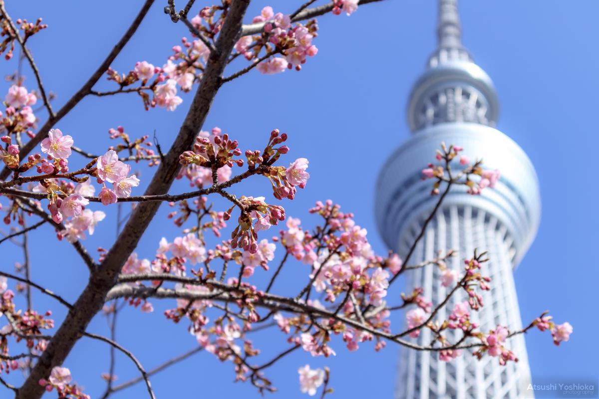 東京スカイツリー 河津桜