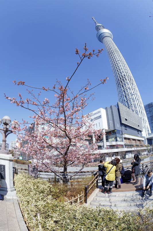 東武橋 河津桜