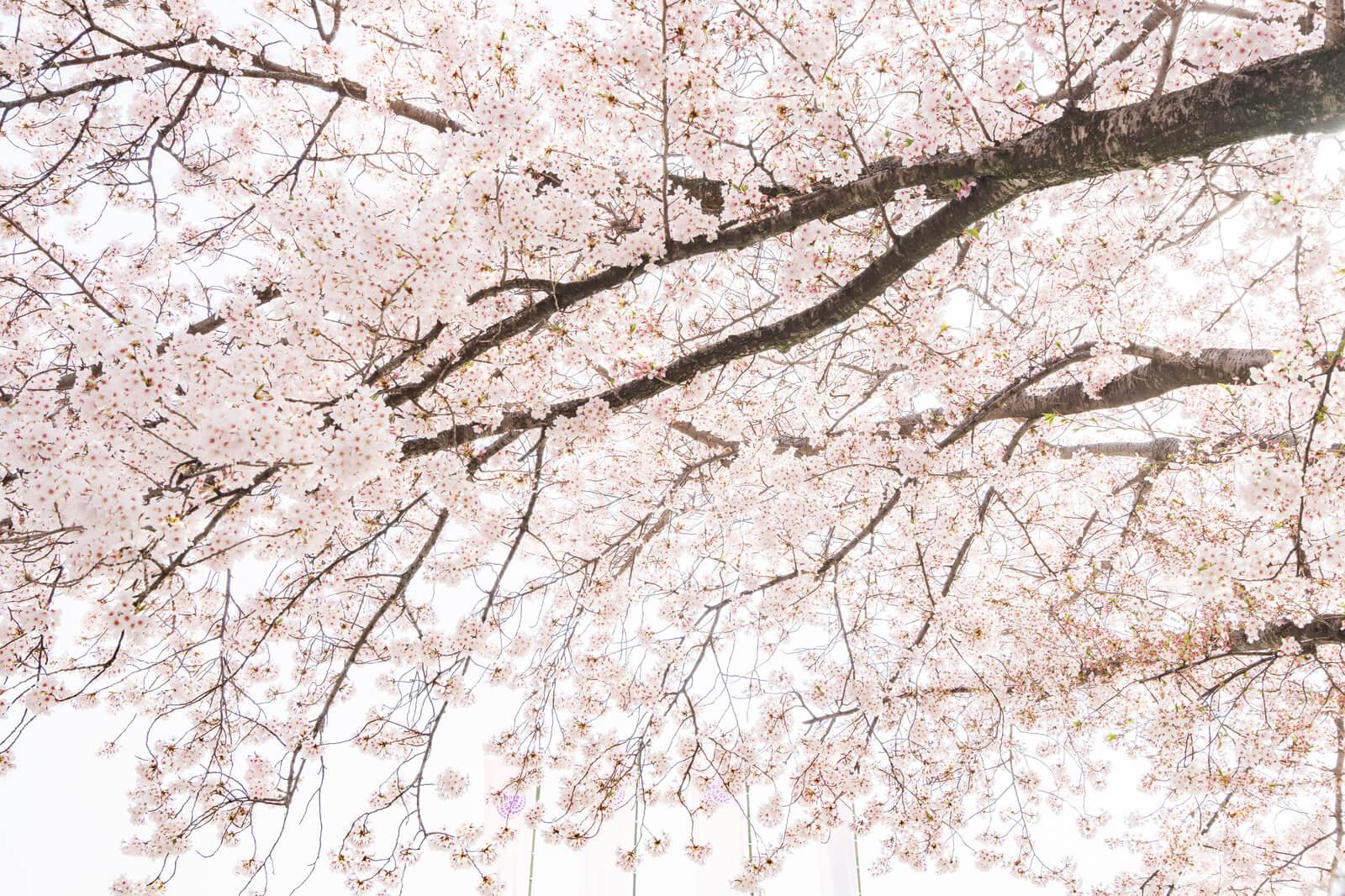 春よ来い!都内で桜撮影におすすめのカメラ&スポットをご紹介