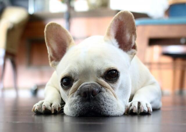 犬とルンバの悲しい事故を防ぐための注意点 ルンバと犬は仲良くできる?たいていは「慣れ」で解決!