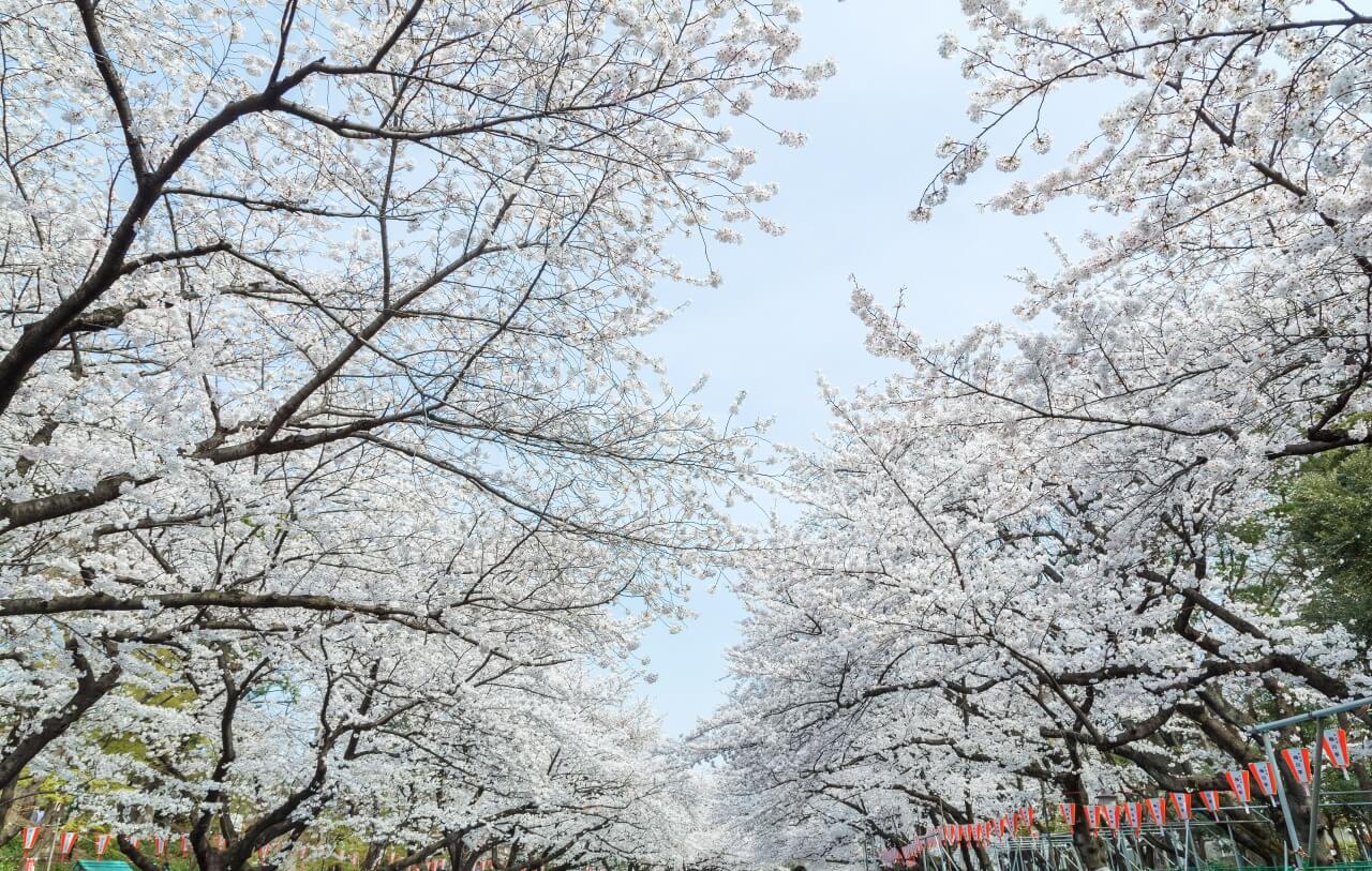 桜撮影 上野