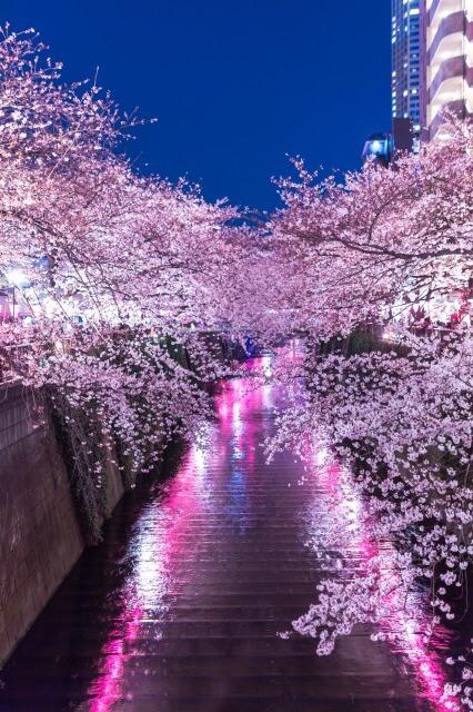 桜撮影 目黒川
