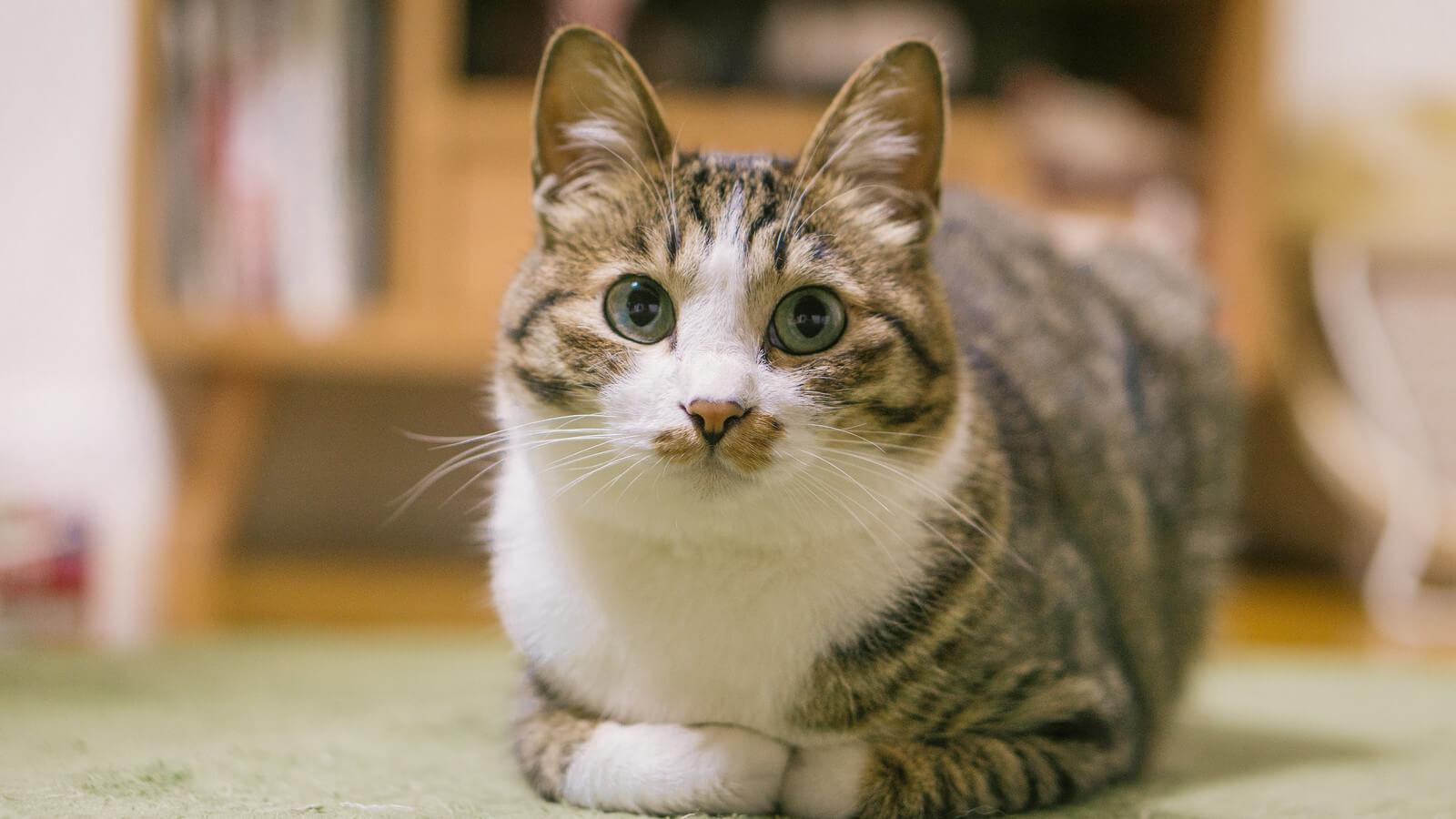 猫のいる家庭でルンバを使うメリットと悲しい事故を防ぐための注意点