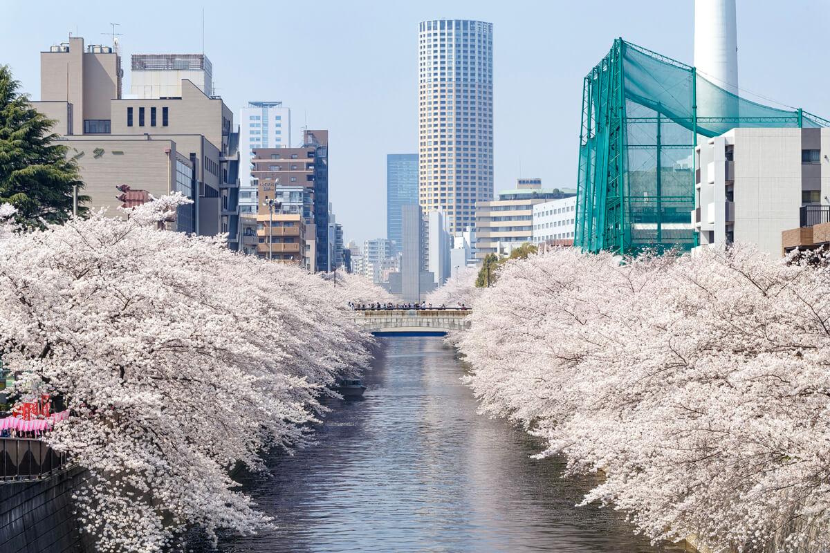 桜並木 撮影
