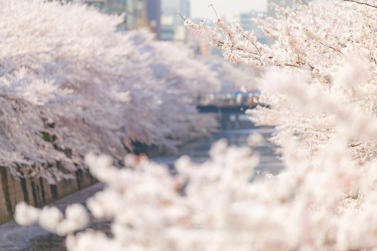 桜 撮影 おすすめ