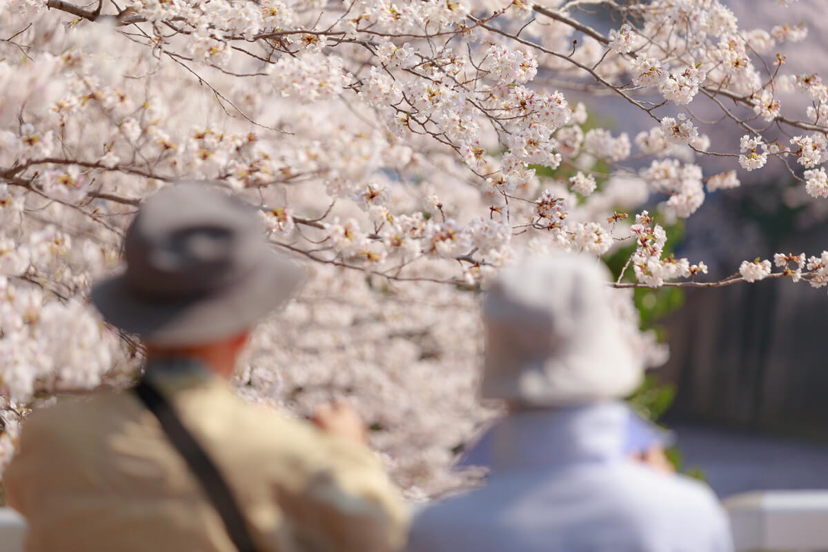 桜 撮影 人気