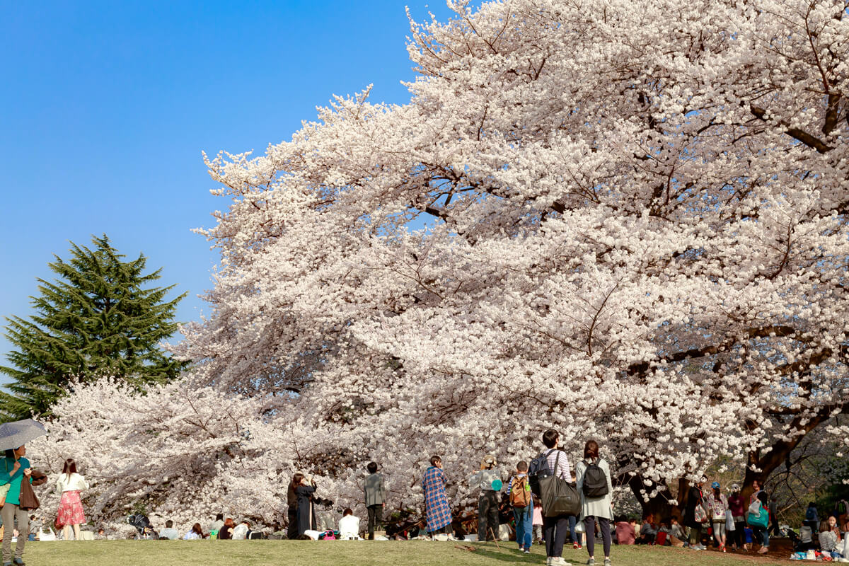 桜 撮影 手軽