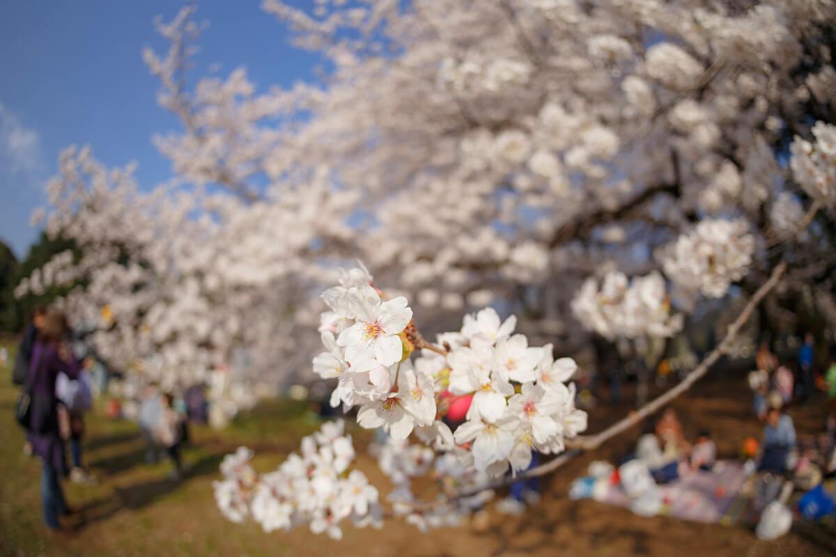 桜 接写 撮影
