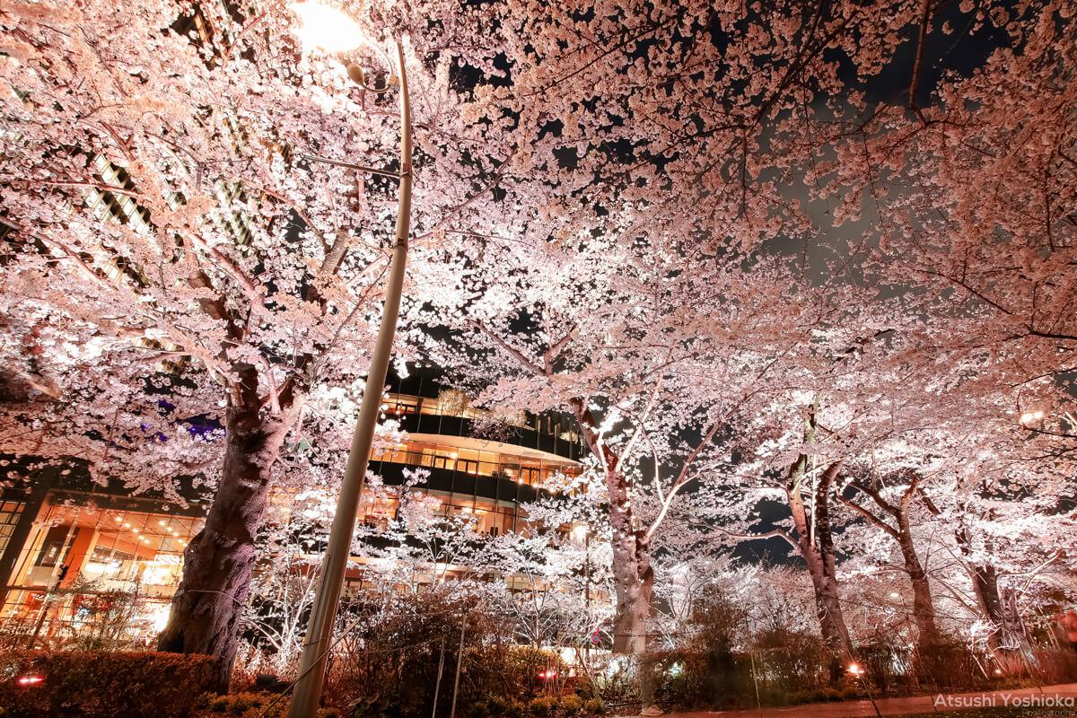 夜桜 撮影 おすすめ